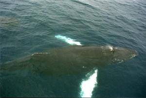 Das Alter von Walen wird mithilfe ihres Ohrenschmalzes bestimmt.