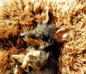 Ohren reinigen bei Hunden