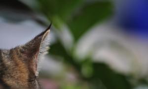 Ohren reinigen bei Katzen