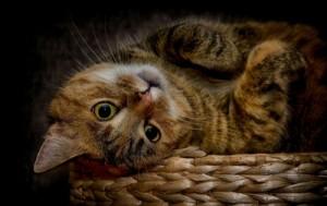 Ohrenschmalz bei Katzen entfernen